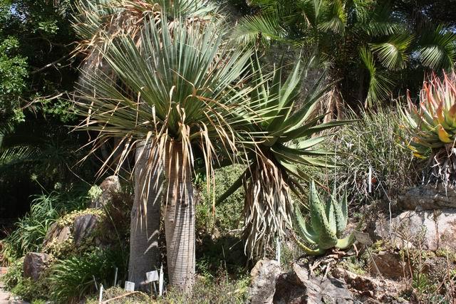 Marimurtra растения
