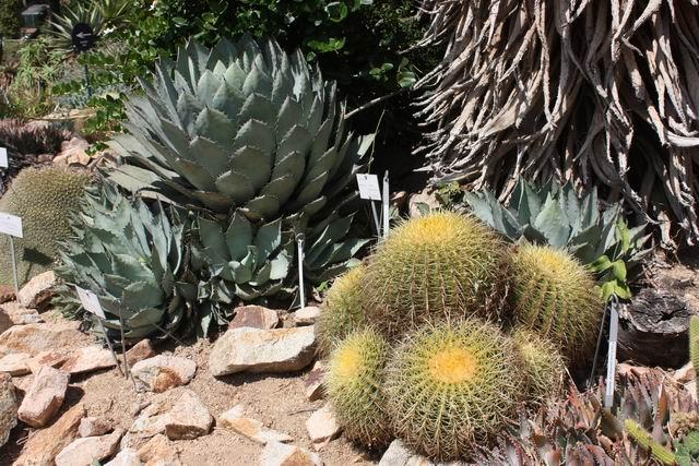 Marimurtra кактусы сукуленты