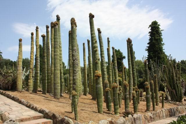 Pinya de Rosa кактусы