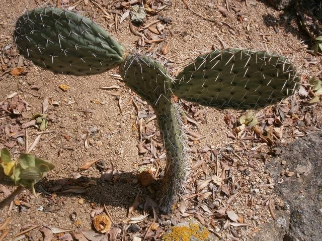 Pinya de Rosa еще один кактус