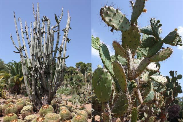 Pinya de Rosa кактусы разные