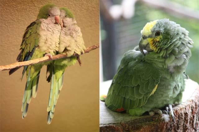 Попугаи болтающие