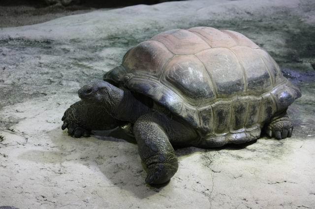 огромная черепаха в зоопарке