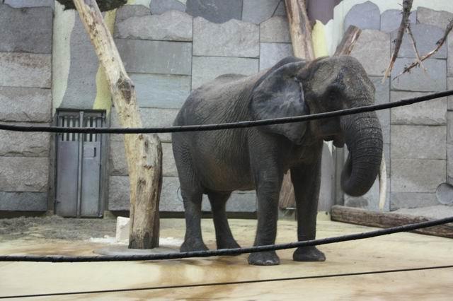 слон в вольере