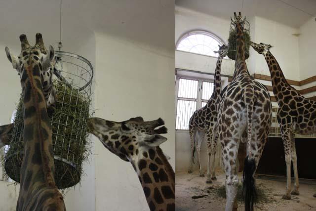 Вена зоопарк жирафы