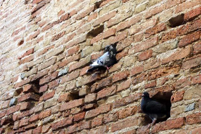 Градара голуби в стенах