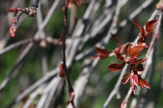 Яблоня карликовая Элиза Ратке