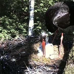 Веб-камера — гнездо аиста черного