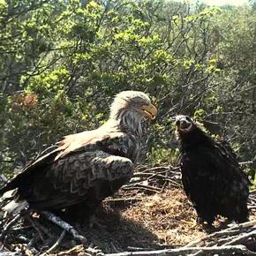 Веб-камера — гнездо орлана-белохвоста