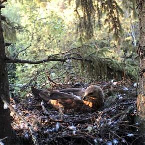 Веб-камера — гнездо подорлика малого