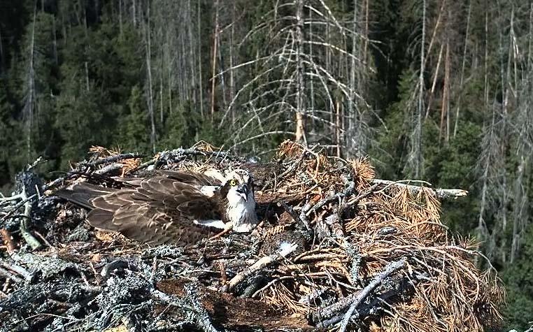 гнездо скопы фото веб-камеры