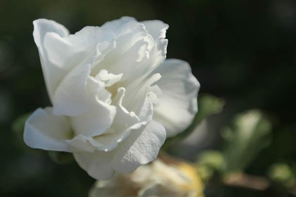 Цветы Греции фото магнолия белая