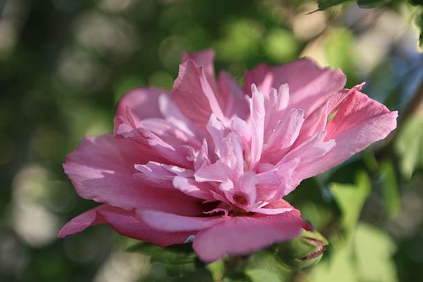 Цветы Греции - розовые