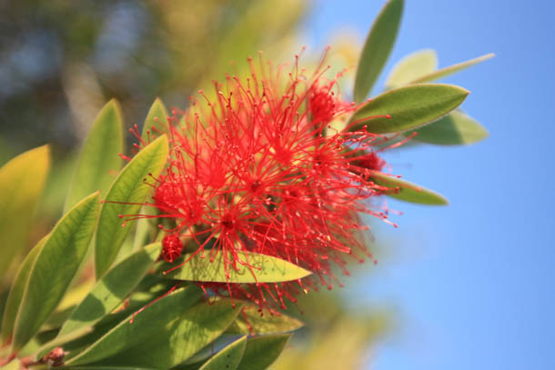 пушистый цветок из Греции