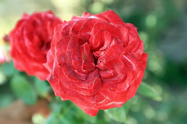 Цветы Греции - две розы