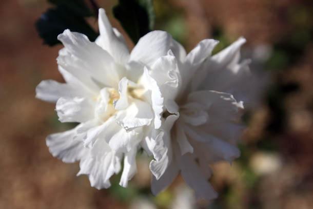 белые цветы из Греции фото