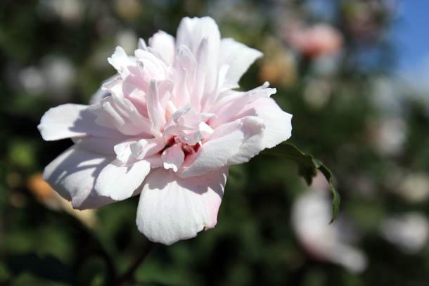 Цветы Греции нежно-розового цвета