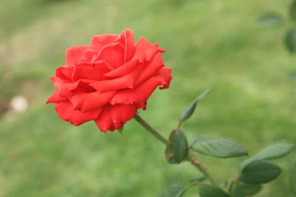 Роза фотография