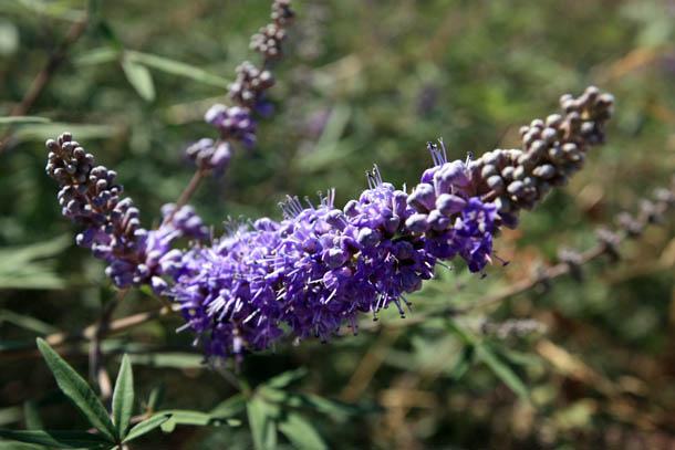 фиолетовые цветы из Греции фото