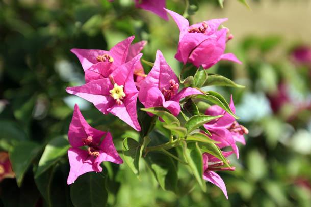 ярко-розовые цветы из Греции