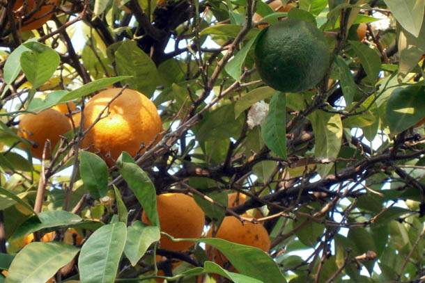 Апельсины на дереве фото