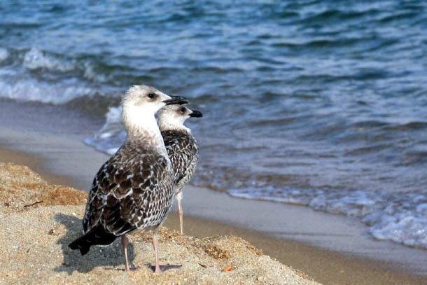 две чайки на побережье