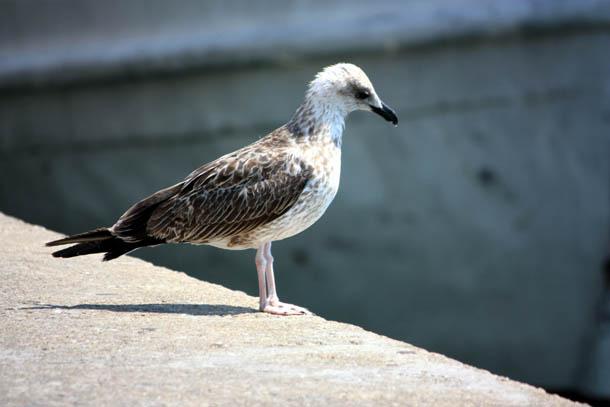 задумчивая чайка