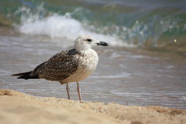 чайка на фоне морской волны
