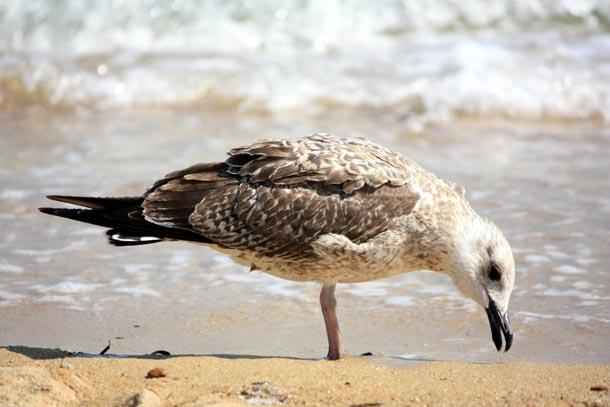 чайка подбирает хлеб