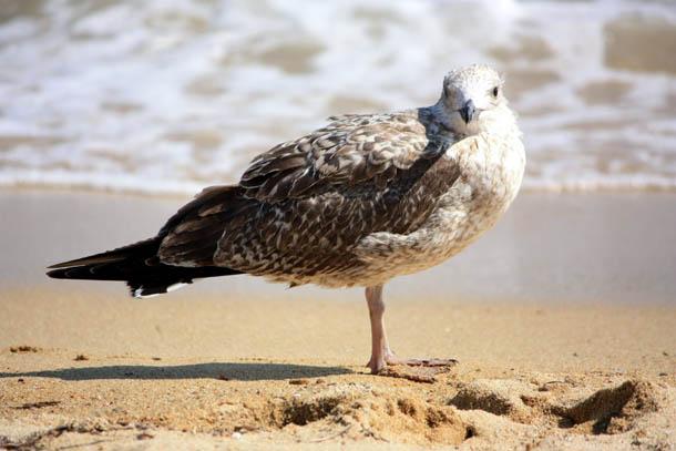 нахохлившаяся чайка