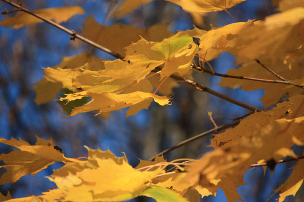 желтые листья фото
