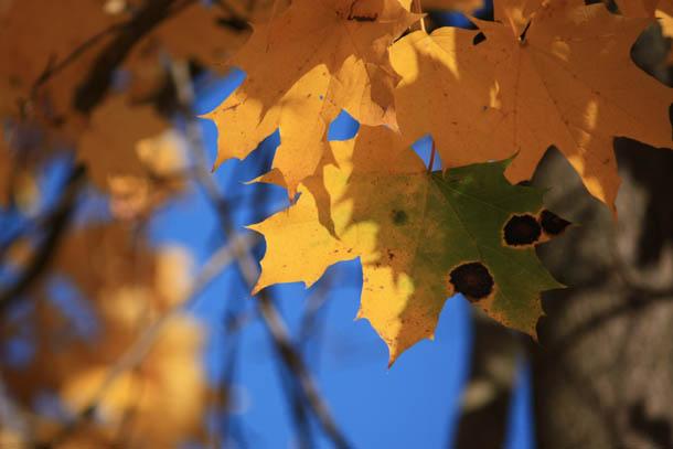 желтые осенние листья на фоне синего неба