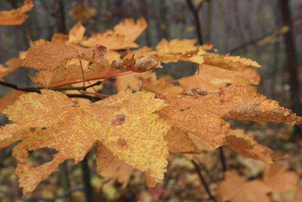 желто-коричневые осенние листья в лесу