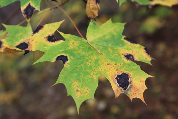 желто-зеленый лист