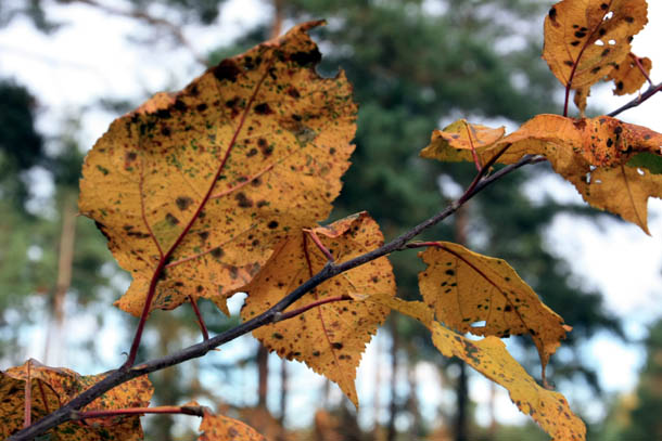 Пятнистые листья