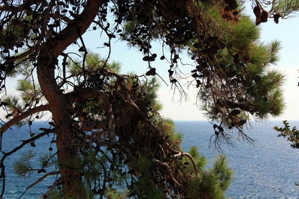 сосны на берегу моря