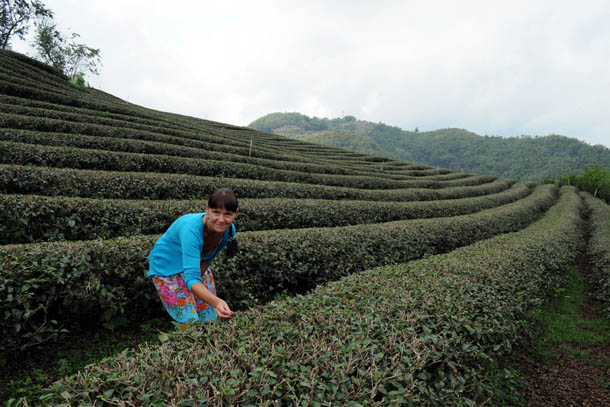 Таиланд, чайные плантации в деревне Мае Салонг