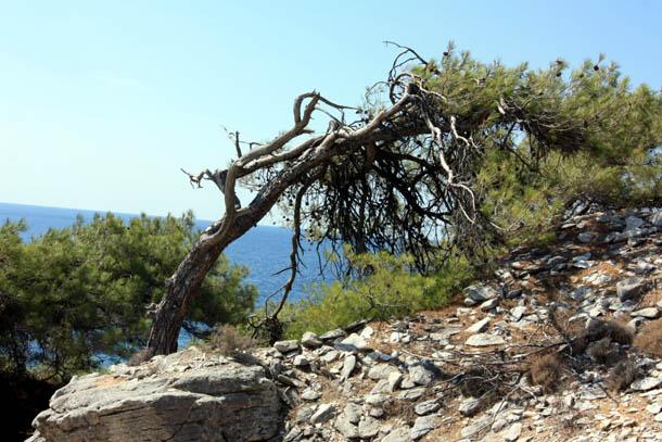 Искривленное дерево на побережье