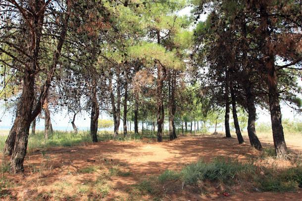 сосны на побережье Керамоти