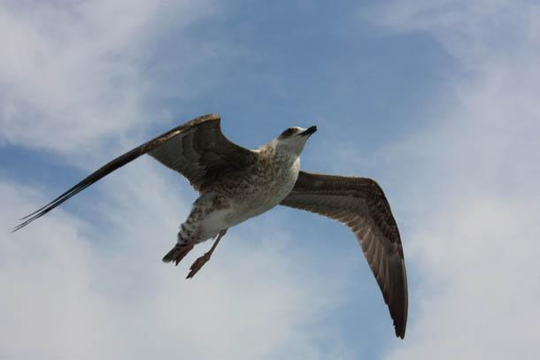 Чайка охотится, вид снизу