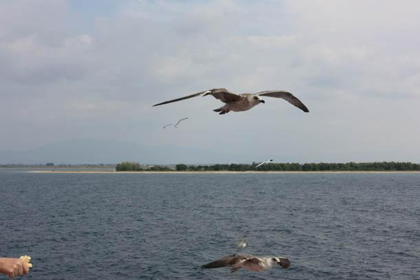 Парящие над водой чайки