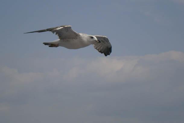 Чайка в полете