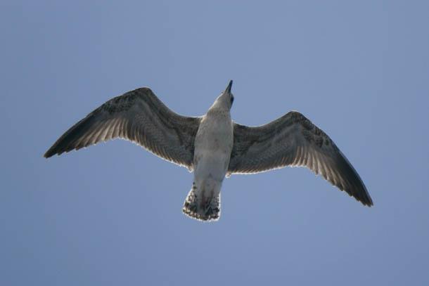 птица, вид снизу