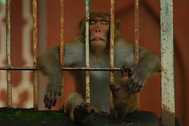 Keep calm monkey, около Тадж Махала