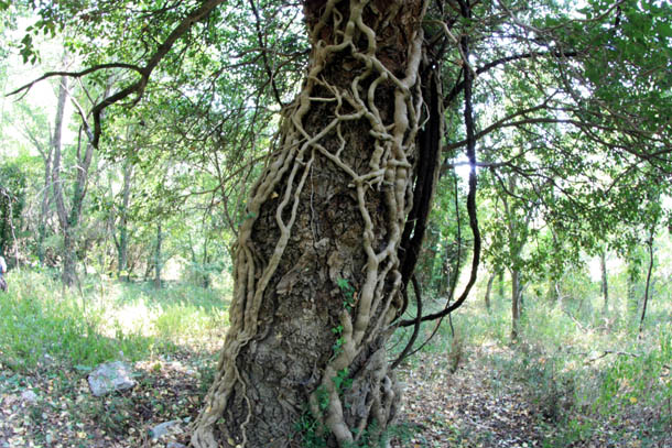 причудливый ствол дерева