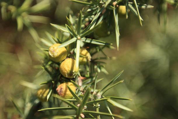 греческая растительность