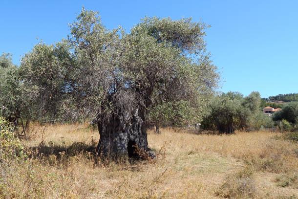 дерево оливок