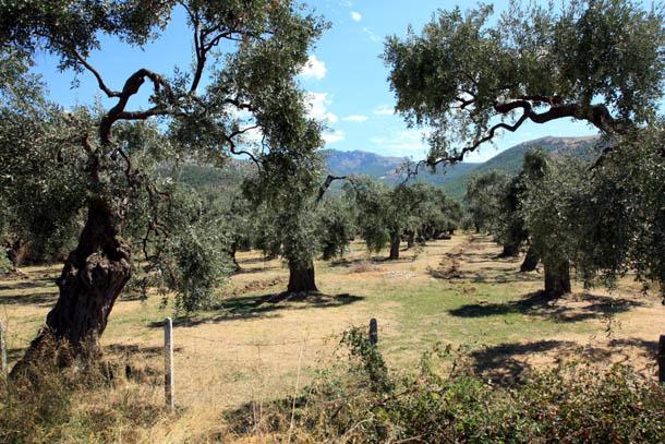 Оливковая плантация на острове Тасос