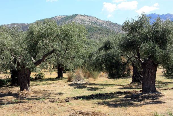 Оливковыее деревья
