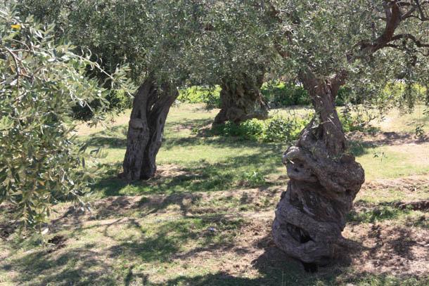 ствол древнего оливкового дерева